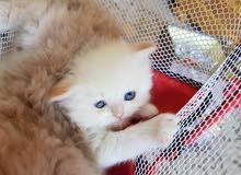 قطط هملاية ابيض عيون زرقاء العمر 50 يوم مدربة ونظيفة جدا