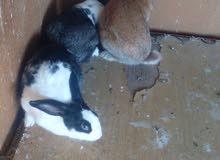 ارانب للبيع انثايتين وذكرهن