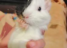 ارانب هندية _ ارنب هندي guinea pig