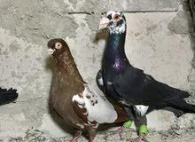 خمس طيور للبيع حرررق 20