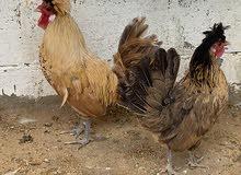 زوج دجاج بولش
