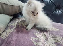 للبيع قطة نثية بيكي فيس مشتوى طيب بسعر 80 دينار