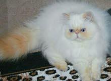 قط هيمالايا زورار اورانج بوينت للتزاوج