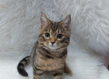 قط هجين بنغال
