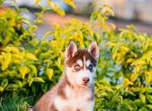جراوي هاسكي _ Husky Puppies