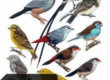 عصافير الجنة وكناري للبيع في جونيه