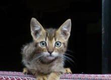 قطة محلية العمر شهرين بدون مقابل