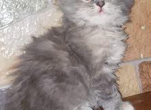 قطط هملايا مكس شيرازي