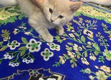 قط اشقر نوعية مميزه بسعر ممتاز