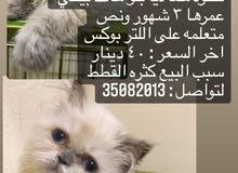 قطه همالايا