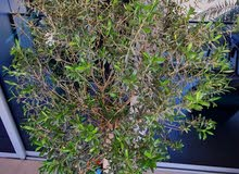 Stuning Olive tree for sale