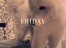 سامويد بيور للتزاوج (ذكر) - Samoyed Pure Mating (male)