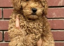 poodle dog for sale male from Ukraine