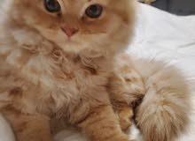 Persian British  kitten (Male)