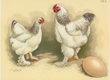 بيض دجاج براهما نسبة تخصيب مرتفعة