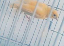 طير كناري ذكر للبيع