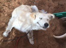 كلب ارمنت بيور للبيع