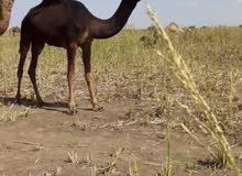 ناقة سودا زينة للبيع الموقع السودان