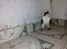 7 طيور حماام للبدل على تلفون  او للبيع