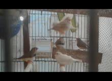 طيور جنه