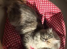 قطه بيكي فيس انثى جاهزه تزاوج