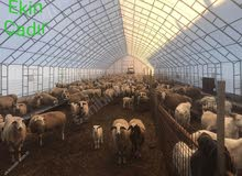 وصف خيمة الحيوان صافي 13x70 لا تشتري دون القراءة.