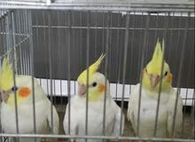 طيور كوكتيل (كراوان)