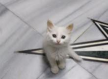 قطه بيضاء لعمر 4 اشهر ونصف