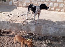 كلبة بونتر انجليزي بيور صافي 100/100