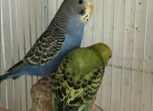 للبيع طيور الحب البادجي بصخطحه ممتازه