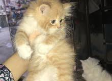 قطط شرازي بيور عمر 45 يوم للبيع
