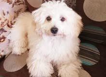 للبيع كلب      Bishon   male