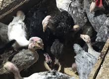 للبيع دجاج رومي
