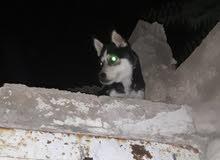 كلب هاسكي ذكر عين زرقه وعين بني عمرو 8 شهور