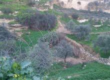 مزرعة زيتون للبيـع - بني كنانة