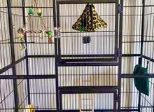 Sugar gliders for sale together with cage and accessories