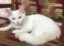 قطه شيرازيه اليفه لونها ابيض جميله عين مختلفه عن الاخره تعرف اسمها عندما تصيح عل