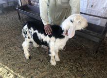 خروف نجدي بيور العمر 5 شهور على اللبن