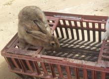 ارنب سيامي