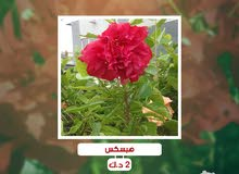 hibiscus red - هبسكس احمر
