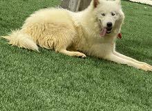 كلب هاسكي فول الفول للبيع