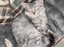 Turkish Angora male kitten