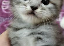 45 days mix british kitten for sale