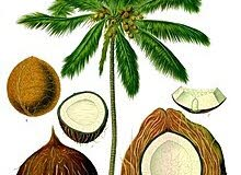 شتلات واشجار جوز الهند - Coconut trees for sale