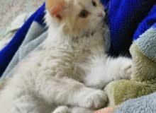 قطة شيرازي لون عسلي