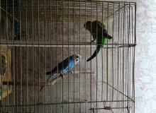 جوز طيور البادجي او الحب