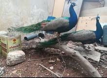 طقم طاووس هندي شغال منتج
