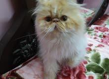 بسم الله ما شاء الله قطة بيرشن بايكلر هارليكان زورار توب