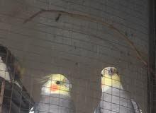 كوكتيل مع طيور حب