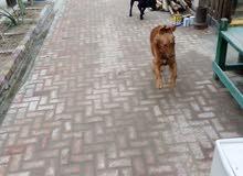 كلب لابلادور جولدن